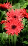 kwiat czerwień Zdjęcia Royalty Free