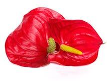 kwiat czerwień Obraz Royalty Free