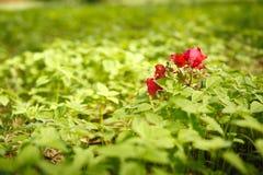 kwiat czerwień Fotografia Royalty Free