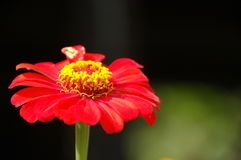 kwiat czerwień Zdjęcie Stock