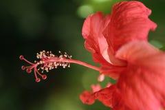 kwiat czerwień Zdjęcie Royalty Free