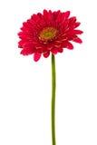 kwiat czerwień Obrazy Stock