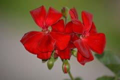 Kwiat czerwieni muszkatel Obrazy Stock
