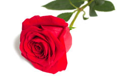 Kwiat czerwieni róża z liśćmi na białym tle. Fotografia Royalty Free