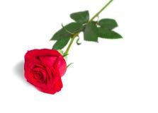 Kwiat czerwieni róża z liśćmi na białym tle. Obrazy Stock