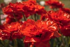 Kwiat czerwieni tulipan Zdjęcia Royalty Free