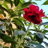 kwiat czerwieni zieleni nieba błękit zdjęcia stock