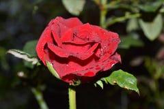 kwiat, czerwona róża Zdjęcia Royalty Free