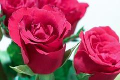 kwiat, czerwona róża Zdjęcia Stock