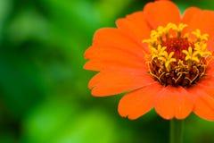 kwiat czerwone tło Zdjęcie Royalty Free