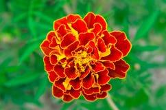 kwiat czerwonej żółty Obrazy Royalty Free