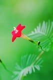 kwiat czerwonej gwiazdy Obraz Royalty Free