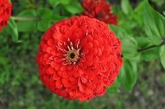 Kwiat czerwony kwiat Zdjęcia Stock