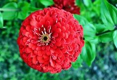 Kwiat czerwony kwiat Obrazy Stock