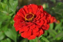 Kwiat czerwony kwiat Zdjęcia Royalty Free