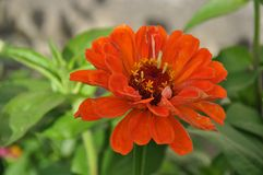 Kwiat czerwony kwiat Fotografia Royalty Free