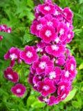 Kwiat czerwony dianthus barbatus Obraz Royalty Free