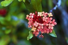 Kwiat dżungli bodziszek Zdjęcia Royalty Free