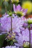 Kwiat dalia Graceland Zdjęcia Royalty Free