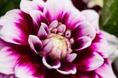 Kwiat dalia makro- Obraz Stock