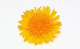 Kwiat dandelion zdjęcia stock