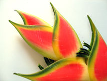 kwiat danego tropikalny Fotografia Royalty Free