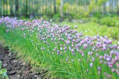 Kwiat dekoracyjna cebula Zakończenie fiołkowe cebule kwitnie na lata polu obrazy stock