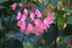 kwiat delikatne menchie Zdjęcie Stock