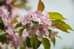 kwiat delikatne menchie Zdjęcie Royalty Free