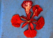 Kwiat Delonix regia, Królewski Poinciana, Ekstrawagancki Obraz Stock
