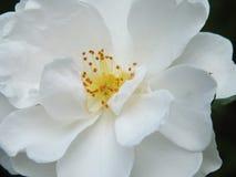 Kwiat dla panny młodej zdjęcie stock