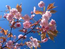 kwiat drzewo wiśniowe Zdjęcie Stock