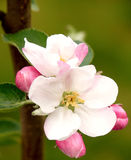 kwiat duma Williams Fotografia Royalty Free