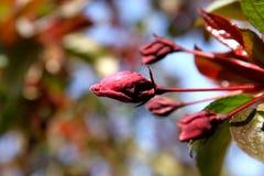 Kwiat dzika jabłoń fotografia royalty free