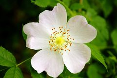 Kwiat dziki wzrastał Obraz Royalty Free