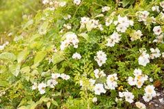 Kwiat dziki wzrastał Obrazy Stock