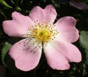 Kwiat dziki wzrastał Zdjęcie Royalty Free