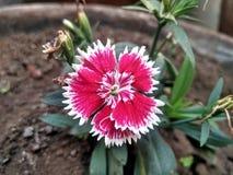 Kwiat dzwoniący słodki William obrazy stock