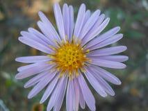 Kwiat dzwonił ` babci ` s lata ` obraz royalty free