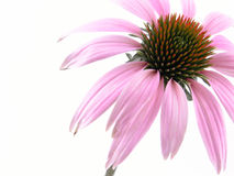 kwiat echinacea Obrazy Royalty Free
