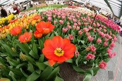 Kwiat ekspozyci tulipany Obraz Royalty Free