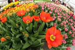 Kwiat ekspozyci tulipany Fotografia Royalty Free