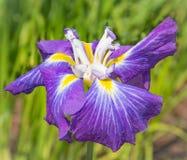 Kwiat fiołkowy irys Zdjęcia Stock