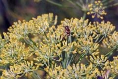 Kwiat Foeniculum vulgare z osą zdjęcie stock
