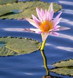 kwiat folował lelui menchii wodę Fotografia Stock