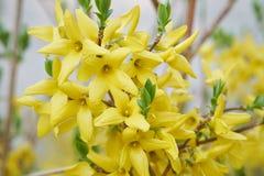 Kwiat forsycje Obrazy Stock