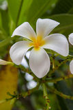 Kwiat frangipani Obraz Royalty Free