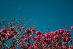 Kwiat Gęsty Ipê obrazy stock