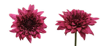 Kwiat głowa chryzantema Zdjęcia Royalty Free