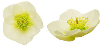 Kwiat głowa ciemiernik Obrazy Stock